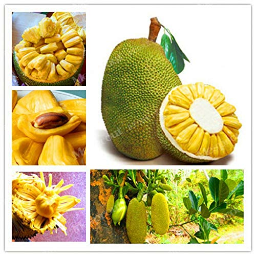 GETSO 5Pcs Frische Jackfrucht Seeds Tropical Seltene Riesenbaum-Samen Miracle Fruit Seeds