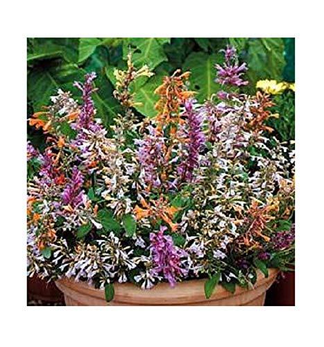 agastache Fragrant Delight Flowers Seeds Mix Perennial 30 pcs