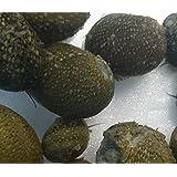 【石巻貝】イシマキガイ10匹+補償3匹 【生体】