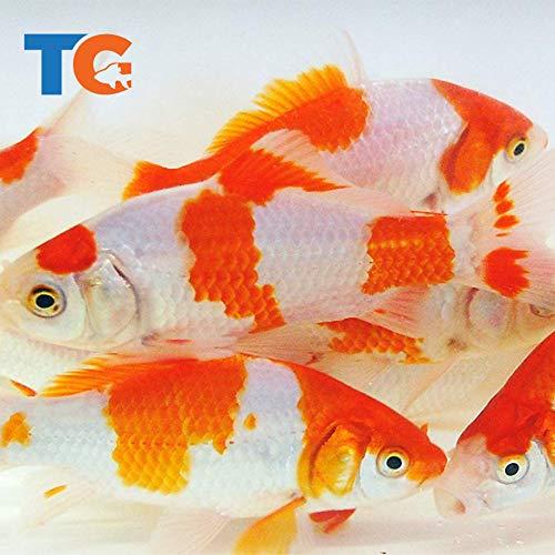Toledo Goldfish Live Sarasa Comet Goldfish for Ponds, Aquariums or Tanks – USA Born and Raised – Live Arrival Guarantee (3 to 4 inches, 25 Fish)