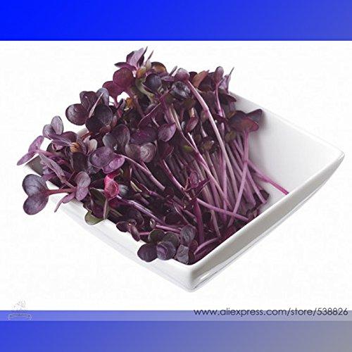 SVI 100 pièces/Sac de semences de plantes aromatiques d'ail cebolletas des semences végétales, graines d'oignon