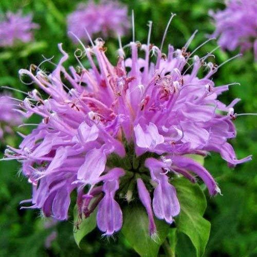 300 + PURPLE BERGAMOT Samen Bienen-Balsam Monarda Native Wildflower Garden/Container