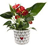 Costa Farms Live Anthurium Indoor Plant in Premium Heart Stone Planter, 10 Inches Tall, Gift