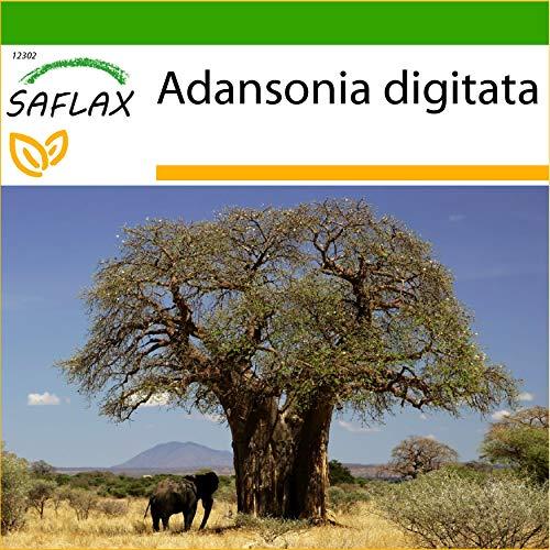 SAFLAX - Árbol del pan del mono - 6 semillas - Con sustrato estéril para cultivo - Adansonia digitata