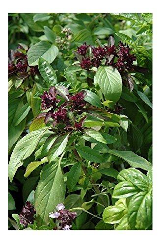 Lot de 50 graines de Basilic Thaï Siam Queen - Aromates
