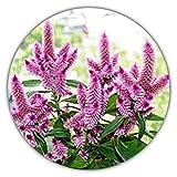 Flamingo Hahnenkamm/Silber-Brandschopf/Federbusch/Celosia argentea / 100 Samen/herrliche Farbe/seltene Arten