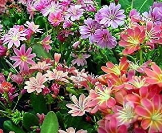 Lewisia Rainbow Hybrids Mix 10 seeds Garden Seeds
