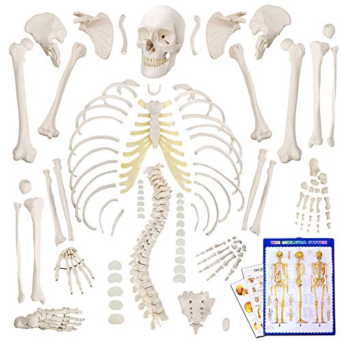 "Human Skeleton Model,Scientific Anatomy Human Body model,67"" High with 200+ Bones and Structures,Disarticulated Scientific Human Skeleton Model Anatomy Bundle for Anatomy, Full Size Male Skeleton Models with Poster, Skull, Bones, Articulated Hand & Foot"