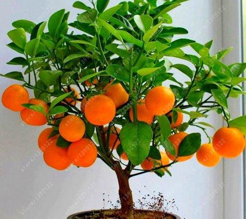fruit 4 nature, les graines d'arbres fruitiers de bonsaïs, légumes et graines fruit pomme cerise kiwi 100+ total des oranges Jardinerie non OGM plante 20 graines orange