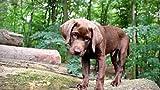 Pintura por números al óleo Kits de pintura Lienzo digital Arte la pared Pinturas Decoraciones Regalos(40X50 cm) sin marco-perro hocico orejas viga cachorro