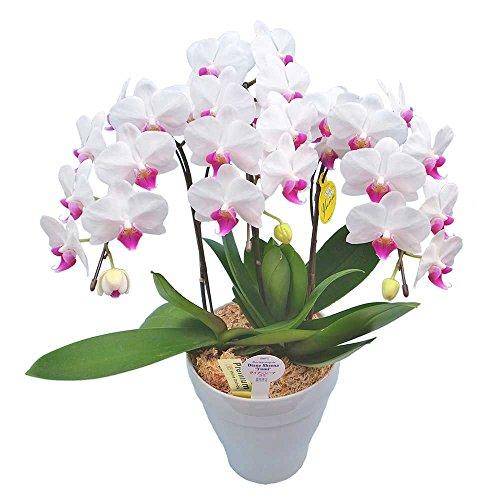 ミニ胡蝶蘭 ギフト 6号鉢 3本立 ホワイト お花 プレゼント お祝い 生花 鉢植え 開店祝い 父の日 敬老の日 おじいちゃん おばあちゃん 贈り物