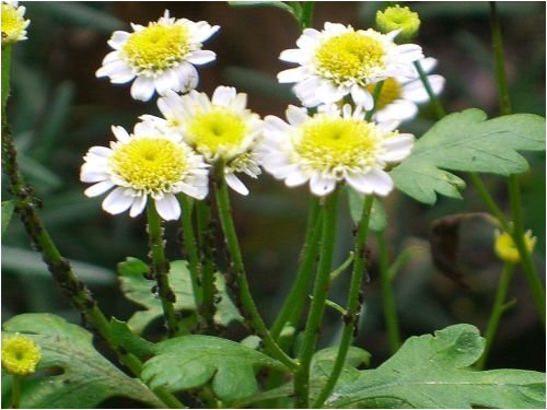 Seedeo® Mutterkraut (Chrysanthemum parthenium) 1000 Samen