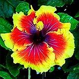 300 Pièces/Sac Graines D'hibiscus Magnifique Forme Géante Mélange Couleur Graines De Fleurs Rustiques Pour Balcon Plante Graines De Jardin Graines d'hibiscus #