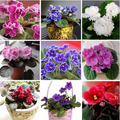 ttmart 100PCS 24Farben violett Samen, African Violett Samen, Garten Topfpflanzen violett Blumen Mehrjährige Kräuter Garten-Levkoje Samen