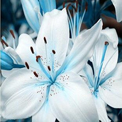 50 graines / plantes pack Rillettes burpee-parfum graines Lily Lily Parfum Purifier Indoor Bonsai Air différentes variétés pour sélectionné
