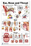 Ear Nose Throat Anatomy Poster 24x36inch, Otolaryngology