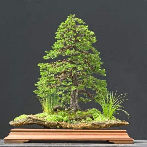 Fresh Dedication Seeds - Jezo Spruce Picea 150 Tree Bons Max 55% OFF jezoensis