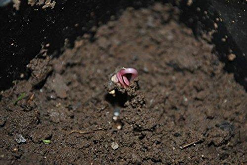 200pc naturel noir et rose blanche graine. rares graines de fleurs du monde. Bonsai Garden