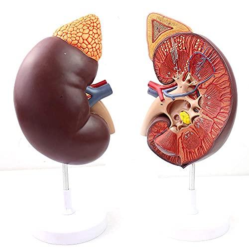 XCTLZG Modelo de glándula suprarrenal, Riñón Humano, Riñón Humano médico, Modelo de anatomía renal, Modelo de riñón, Urología reproductiva