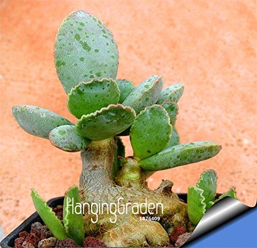 Les meilleures ventes! Succulentes graines Echinopsis tubiflora, graines de cactus, fleur de cactus rare, environ 10 Pcs / Pack, # Y8DTDI