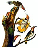 Counted Cross Stitch Pattern: 'Golden Winged Woodpecker' Bird by John James Audubon - PROFESSIONALLY EDITED Image (Audubon Bird Series) (English Edition)