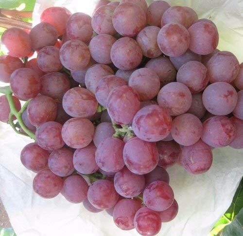 50 Pcs raisin Graines chinois bon marché de fruits pépins de raisin très sucré facile pour cultiver des fruits Graines jardin Plantation