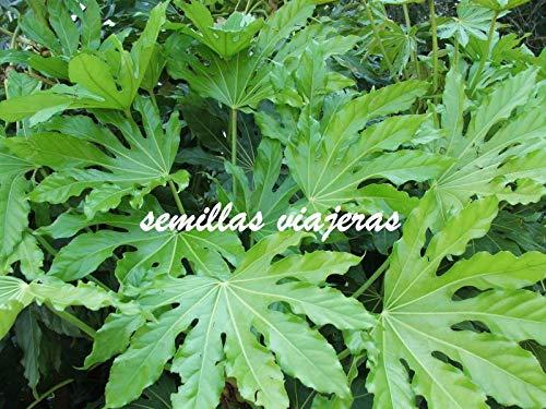 ScoutSeed Fatsia Japonica, japanisches Aralia, 40 Semillas, Samen, Körner, Samen