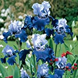Iris Bulb,The Petals are Sword-Shaped,Bearded...
