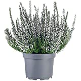 Calluna Beauty Ladies Heather Mix | Choose Your Colour | Evergreen <span class='highlight'>Garden</span> Plants | Potted 9cm Plant (White)