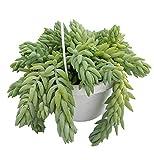 Burrito Burros Tail - 6' Hanging Basket - Sedum Burrito - Easy to Grow Succulent