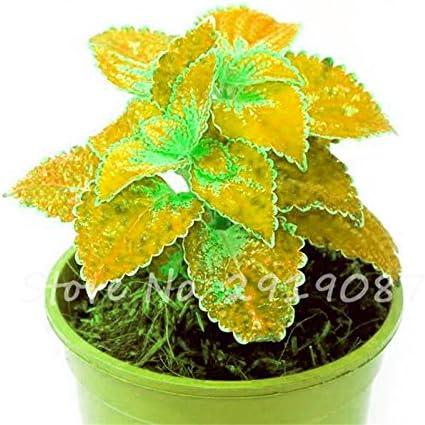 Graines rares coleus mixtes coleus Blumei arc Fleurs couleur parfaite pour jardin Plantes d'intérieur Bonsai So Beautiful 100 Pcs 5