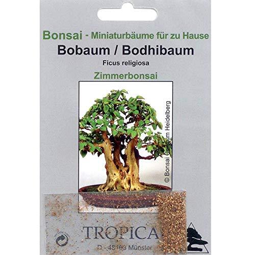 Tropica Bonsai árbol Bo/Bodhi (Ficus religiosa) - 200 semillas