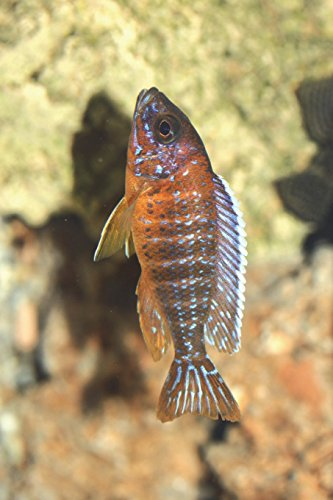 Aulonocara Jacobfreibergi Africa Cichlid Journal: Take Notes, Write Down Memories in this 150 Page Lined Journal