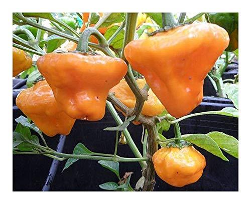 Chili Jamaica Yellow Mushroom - Chili - 10 Samen
