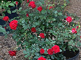 Modern Plants Live Miniature Red Rose Flower Plant With Pot