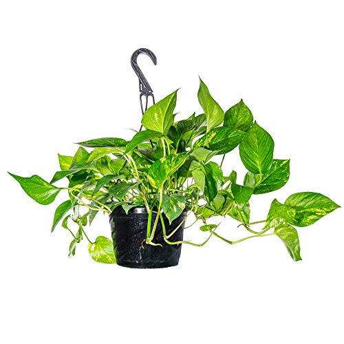 Perfect Plants Golden Pothos   Epipremnum aureum Devil's Ivy, Easy Care Houseplant Perfect for Low to Moderate Light, 10 in. Hanging Basket, Air Purifying
