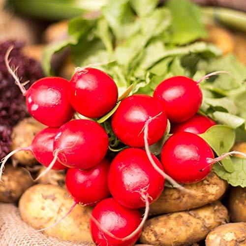 SEEDSOWN 100 graines Cherry Belle (23 Jours) ASA LAURÉAT Fresh Pack ~ graines de légumes Bio pour Le Jardin de la Maison Facile à cultiver