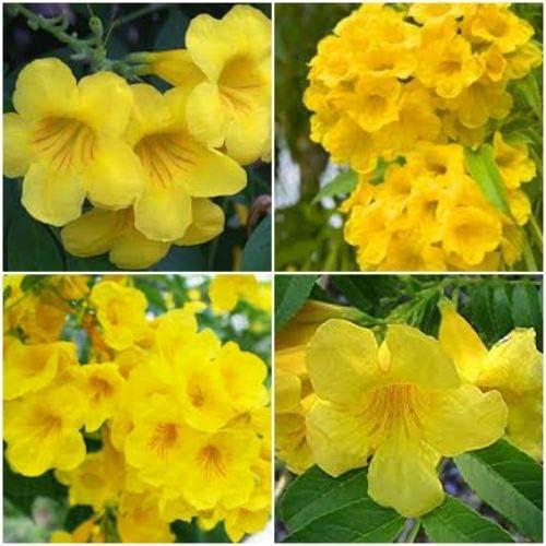 Max 82% OFF 2 Tecoma Stans Plants ~ Yellow Esperanza of Bells Elder New product!! Fire