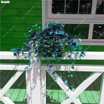 100 pcs/sac exotiques Graines rares Couleur extérieure hybride Escalade Blooming Bonsai Potted Plant for Lvy Décor de jardin 7