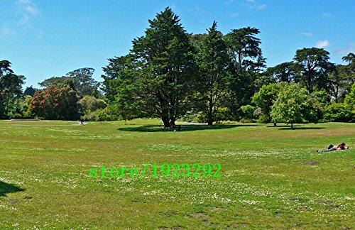 Big Seed promotion de gazon spécial Graines semences fraîches vert tendre Runner Lawn Evergreen vivaces 100 particules / Professionnel