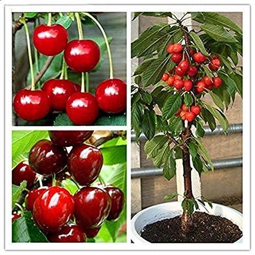 20 Stück/Beutel Kirschsamen Home Indoor Obst Bonsai Zwerg Kirschbaum Samen Pflanzen