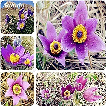 100 Stück Adonis Aestiva Blumensamen Lila Langlebigkeit Blumensamen Indoor Pflanzen Radiation ProtectionSeeds Hof Pflanze