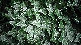 Sichtschutz Kunsthecke Efeu - 2,80 x 1,45 m - schnell angebracht - künstliche Hecke - Kunststoffhecke - Blattnachbildung Efeu -