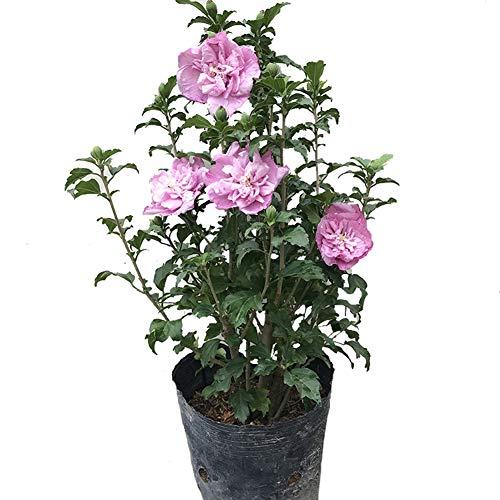 Rosa Hibiscus Mutabilis Blumensamen 100 Stück (Flos Hibisci) Bio-Strauch Althea Blume Premium frische Pflanzen Samen zum Pflanzen Garten Hof im Freienn zum Pflanzen von Gartenhof im Freien