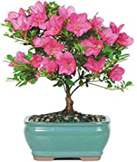 """Brussel's Live Satsuki Azalea Outdoor Bonsai Tree - 5 Years Old; 6\\"""" to 8\\"""" Tall with Decorative Container"""