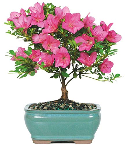 Brussel's Live Satsuki Azalea Outdoor Bonsai Tree - 5 Years Old; 6' to 8' Tall with Decorative Container