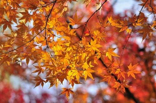 Somarac - Painted Maple Acer pictum truncatum 960 Limited Special In a popularity Price Mono
