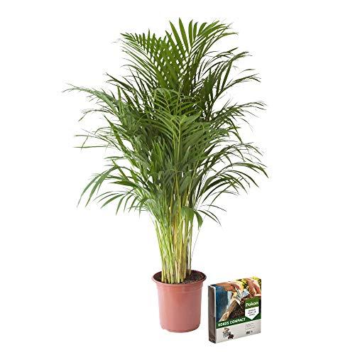 Planta de interior de Botanicly – Palma Areca + 10 L suelo como un conjunto – Altura: 125 cm – Areca dypsis lutescens