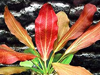 Red Flame Sword - Beginner Tropical Live Aquarium Plant