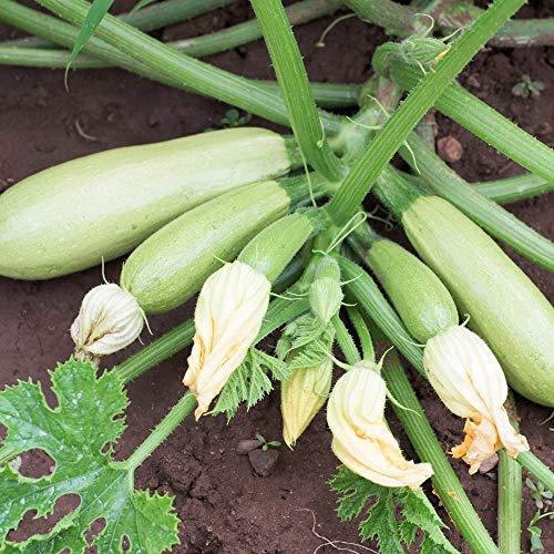 Samen für ca. 10 Pflanzen Bianca di Trieste Zucchini - helle Früchte, ertragreich